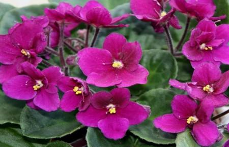 Violeta Africana ~ Saintpaulia ionantha