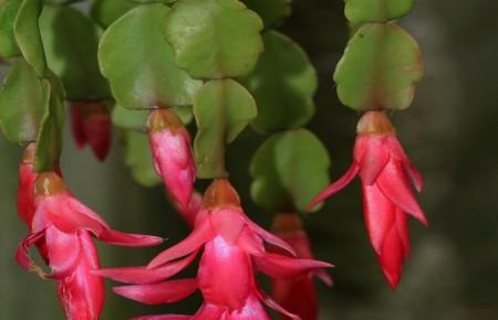 Cáctus de Pascua ~ Rhipsalidopsis sp