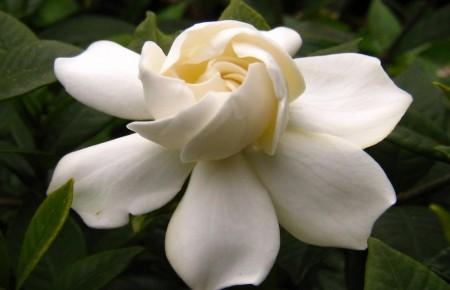 Gardenia ~ Gardenia jasminoides