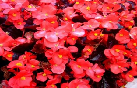 Begonia de macizo ~ Begonia...