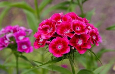 Clavel del Poeta ~ Dianthus barbatus