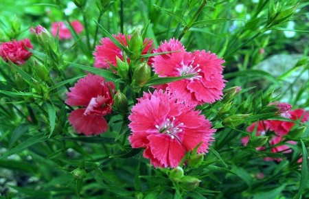 Clavelina ~ Dianthus chinensis
