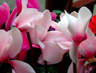 Flores en invierno, el Cyclamen persicum